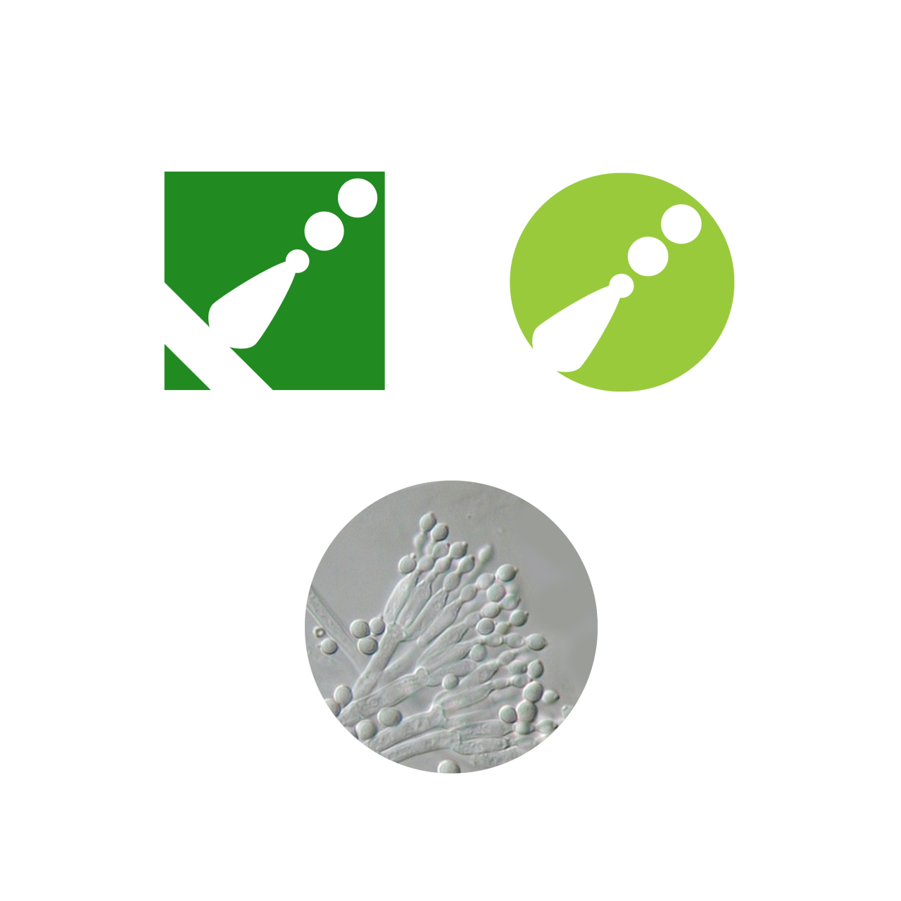 Image of Sporometrics logo icons. Top-left: old icon. Top Right: New Icon. Bottom: Microscope photograph of <em>Penicillium, Penicillium Spores Conidiophores</em>